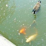 Feed the many large koi at MOBOT