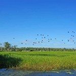 Flock of geese flying over Yellow Water Billabong