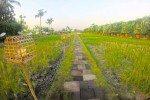 Sardine's rice paddy